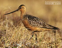 A bar-tailed godwit