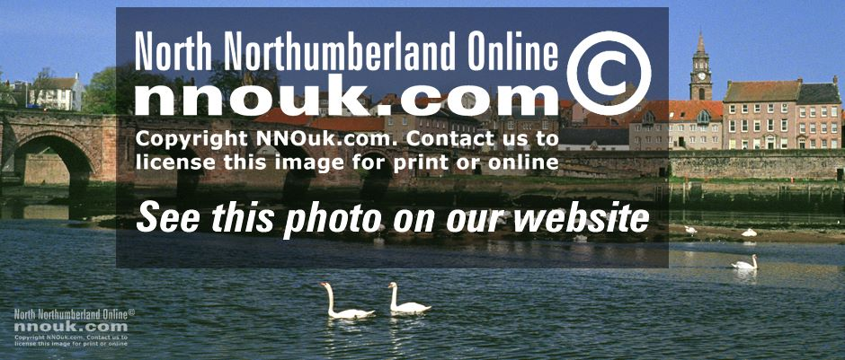 Swans on the river at Berwick upon Tweed