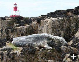 A seal in front of the Longstone lighthouse.
